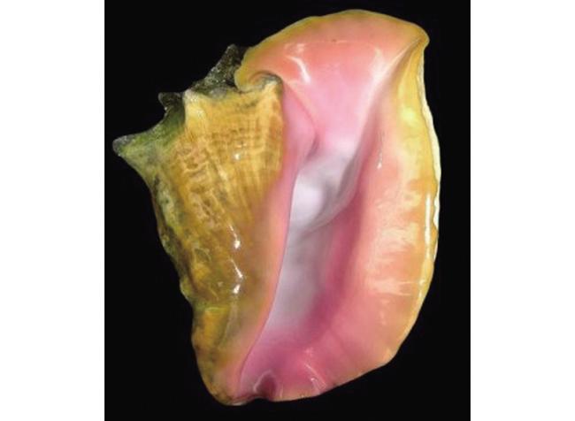 콩크진주queen-conch